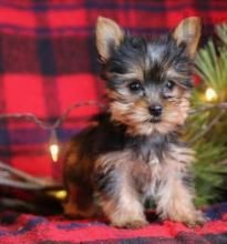 Yorkshire Terrier Puppies For Sale In Kuwait Puppies For Sale Yorkshire Terrier Puppies Puppies