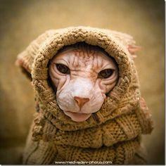 Love Sphynx cats! Looks like an old cranky woman!  How cute!!
