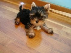 "Figure out more relevant information on ""Yorkshire terrier dogs"". Browse through our internet site. Cute Puppies, Cute Dogs, Dogs And Puppies, Poodle Puppies, Yorshire Terrier, Yorkie Puppy, Teacup Yorkie, Tea Cup Yorkie Puppies, Mini Yorkie"