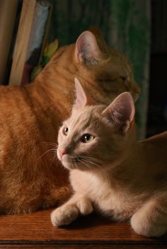 Romeo & Figaro (the polydactyl pussy cat)