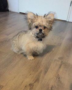 Pomeranian Mix - Top 20 Most Cutest and Huggable PomPom Cross Breed Pomeranian Dogs, Mixed Breed, Shiba Inu, Cuddling, Fur Babies, Dog Breeds, Puppies, Pets, Friends