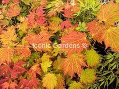Rare-Japanese-maple-cultivar-2yr-Emmetts-Pumpkin