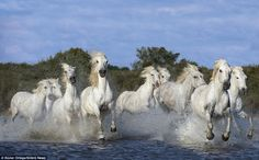 Horseplay: A herd of white horses gallop through the saltwater of the Rhone River in France