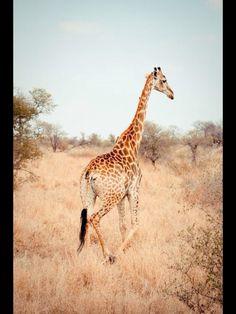 Giraffes www shershe