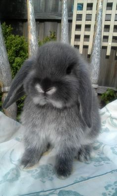 ~ Mini Lop Rabbit ~ My dream pet <3 I already have the names...Bonnie, Clyde, and Mr Whiskers