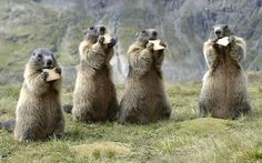 Om nom nom nom. Photographer Ronald Wittek from Speyer, Germany snapped this awesome group portrait of a madness of marmots contentedly snacking on tasty biscuits at the Hohe Tauern National Park in Austria.