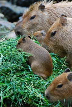 capybaras | Flickr - Photo Sharing!