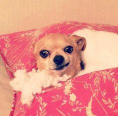 chien-oreillet-cache-detruit