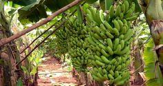 Depois de ler isto, você nunca vai olhar para uma banana da mesma maneira novamente. A banana contém três açúcares naturais – sacarose, frutose e glicose, combinados com fibra. A banana dá uma instantânea e substancial elevação da energia http://antonionobre.com/e/blog-nao-coloque-banana-frigorifico