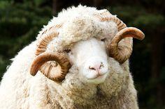 Welsh Mountain Sheep at Staglands Upper Hutt