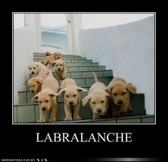 lol How much fun would it be to be at the bottom of these stairs? a million sweet lab puppy kisses