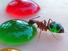 Scientist Mohamed Babu from Mysore, India captured beautiful photos of these translucent ants eating a specially colored liquid sugar. Some of the ants would even move between the food resulting in new color combinations in their stomachs.