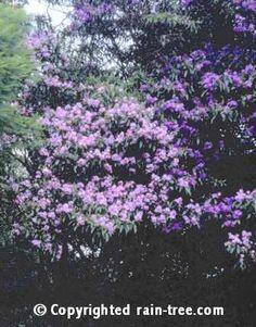 Manaca (Brufelsia Uniflora); tree to 8m with sweetly fragrant flowers.