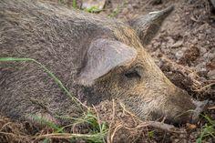 Mangalitza x Wildschwein Mangalitza, Rind, Animals, Baby, Free Range, Wild Boar, Names, Animales, Animaux
