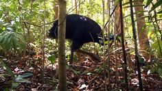 BBC Natural World Cassowaries (2009)  Wildlife documentary. Six feet tall, 13 stone, and armed with five-inch claws, cassowaries are birds that deserve respect. So when a cyclone forced dozens of cassowaries out of Australian rainforests and into towns, there was bound to be trouble.   Documentary http://www.bbc.co.uk/programmes/b00hvc6s http://www.imdb.com/title/tt1384094/