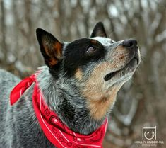 Cattle Dog Devotion ~•♡•~