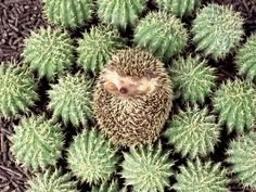 Just A Hedgehog Practicing Its Camouflage