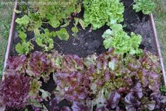 3 Reasons To Grow Your Own Salad and How To Do It