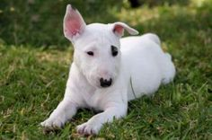 I want one of the 'Target' {bull terrier} dogs SO much! They're only mean if they're trained to be just like any dog although they seem to have a bad reputation I know people who have them and small children. They're extremely protective of their owners and very gentle with children :-)
