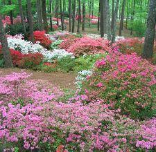 Calloway Gardens Azaleas
