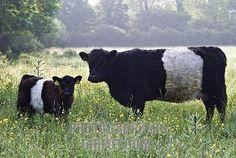 belgian belted cattle