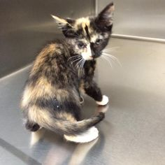 Butts County Animal Control (URGENT) * Meet Dixie, a Petfinder adoptable Domestic Short Hair Cat | Jackson, GA | Dixie is very gentle and full of energy.  she loves her toys and gets along very well with others. ...