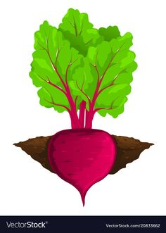 Beet grow in ground Royalty Free Vector Image - VectorStock Art For Kids, Crafts For Kids, Diy Crafts, Free Vector Images, Vector Free, Vegetable Drawing, Fresh Beets, Funny Fruit, Pepper Plants