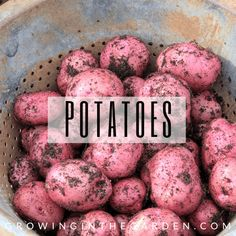 There are a few methods for growing sweet potato slips. I'm sharing two successful methods I've used for how to make sweet potato slips: Tips For Growing Tomatoes, Growing Onions, Grow Tomatoes, Basil Growing, Growing Cabbage, Growing Veggies, Soil For Raised Beds, Raised Garden Beds