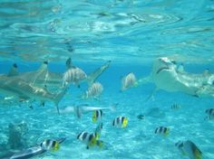 Bora Bora Snorkel, Sharkfeeding