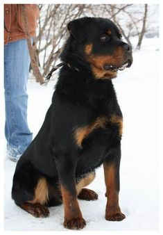 """Rottweiler, """"Worlds Best Cuddle Dog"""" German Rottweiler, Rottweiler Love, Rottweiler Puppies, Beautiful Dogs, Animals Beautiful, Cute Animals, Amazing Dogs, Big Dogs, Dogs And Puppies"""