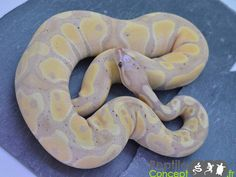 Banana Scaleless Head - Morph List - World of Ball Pythons