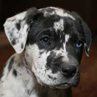 Garland is an adoptable Catahoula Leopard Dog Dog in Lakewood, CO. Garland is an 8 week old catahoula mix puppy
