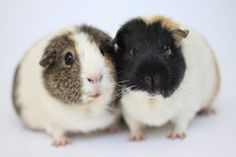 The Guinea Pig Daily: Lily and Daisy