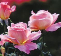 Au nom de la Rose. Page pleine d'idees. Recettes avec des roses et divers fleures. En plus, il y a un article photo a comment faire son sucre brun.