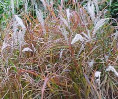 Ornamental grasses on pinterest ornamental grasses for Ornamental grass with purple plumes