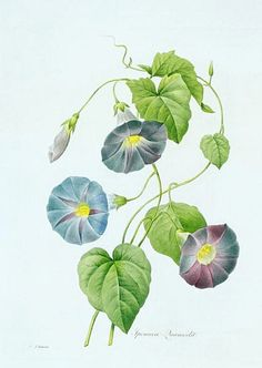 """morning glory illustration..Pierre Joseph Redoute (1759 - 1840 ), Belgian painter and botanist, known for his watercolours of roses, lilies and other flowers at Malmaison. He was nicknamed """"The Raphael of flowers"""". He was an official court artist of Queen Marie Antoinette, and he continued painting through the French Revolution and Reign of Terror."""