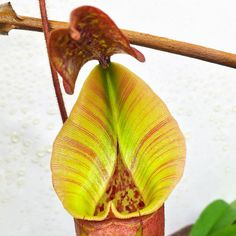 That peristome though Nepenthes x 'Tiveyi' Red Queen @crown_of_frogs #californiacarnivores #nativeexotics #nepenthes #neps #monkeycup #monkeycups #pitcherplants #pitcherplants #carnivorousplant #carnivorousplants #carnivoroustagram #carnivorousplantswag #nature #instagood #instagram #instalike #instadaily #plant #plerd #nerd #nature #sphagnum #tropical #trending #terrarium by joes.carnivores