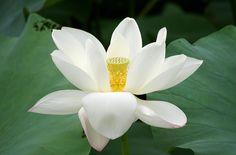 Лотос, цветок, крупный план, зелень, листья обои, фото, картинки
