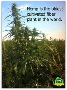 Hemp is the oldest cultivated fiber plant in the world. Seems like ancient people knew what they were doing. Cbd Hemp Oil, Medical Marijuana, Marijuana Facts, Hemp Seeds, Go Green, In This World, Weed, Herbalism, The Cure