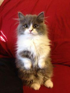 My beautiful munchkin cat, Meep.