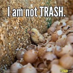 """the egg industry grinds up/suffocates/burns/drowns/trashes MILLIONS of male baby chicks bc there's no profit to be made from them: Doesn't matter where you got the stolen chicken fetuses from, doesn't matter if they're organic or cage free or """"happy"""": If you eat STOLEN FETUSES, YOU ARE DIRECTLY RESPONSIBLE FOR THIS ATROCITY RIGHT HERE"""