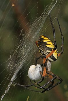 """chillypepperhothothot: """" Arachtober 9 - Black and Yellow Argiope - Argiope aurantea, Occoquan Bay National Wildlife Refuge, Woodbridge, Virginia by judygva (back in town and trying to catch up) on Flickr. """""""