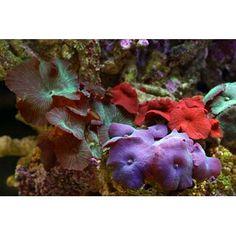 Assorted Mushroom Coral http://www.petco.com/product/101755/Assorted-Mushroom-Coral.aspx