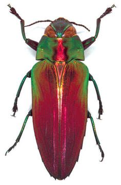 Indonesian metallic beetle.