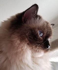 Joy Ragdoll Of The Week 4 F2 Savannah Cat Pretty Cats Cat Spray