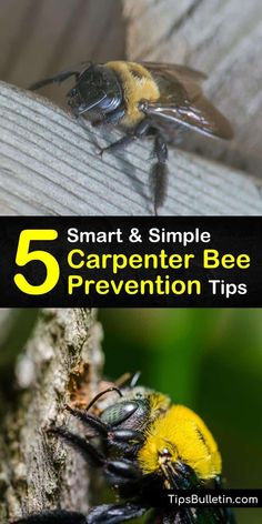 Protect your eaves and other wood surfaces from a carpenter bee infestation with this guide about bee prevention. Let us teach you how to spot sawdust, kill larvae to dissuade woodpeckers, and use homemade pesticides and aerosol to keep them from returning. #carpenter #bee #prevention Kill Carpenter Bees, Bee Repellent, Bee Spray, Bee Problem, Bee Traps, Wood Bees, Beekeeping For Beginners, Weathered Paint, Garden Care