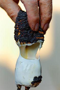 roasted marshmallow - CABINOLOGY