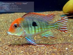 What a fancy 'Eartheater' Cichlid! Goldfish Aquarium, Cichlid Aquarium, Cichlid Fish, Tropical Aquarium, Aquarium Fish Tank, Tropical Fish, Tropical Freshwater Fish, Freshwater Aquarium Fish, Rare Fish