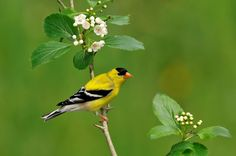 IOWA Eastern goldfinch (aka American goldfinch). Adopted 1933.Official Birds of Every State