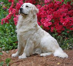 pics of white golden retrievers in the snow - Google Search